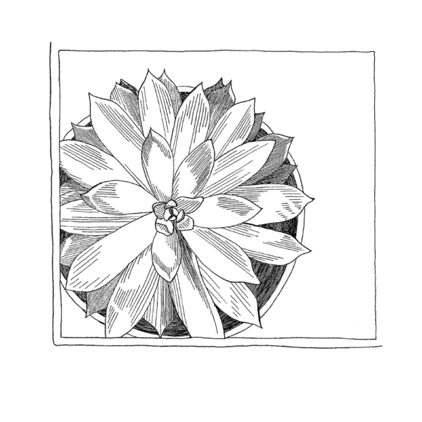 giclee print of ink drawing of succulent